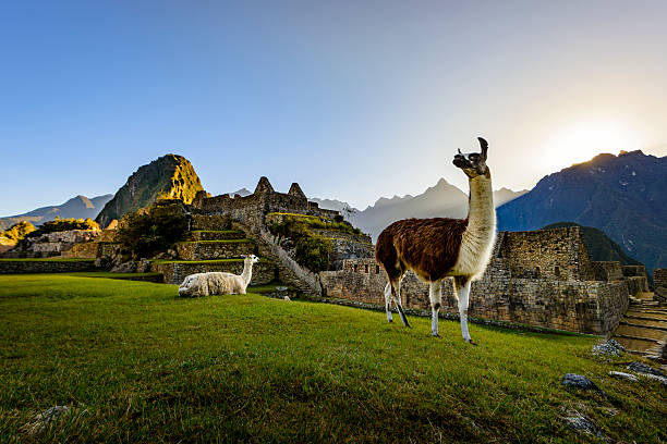 llamas at first light at machu picchu, peru - south america travel stock photos and pictures