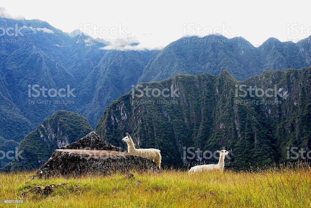 Llamas at Machu Picchu stock photo
