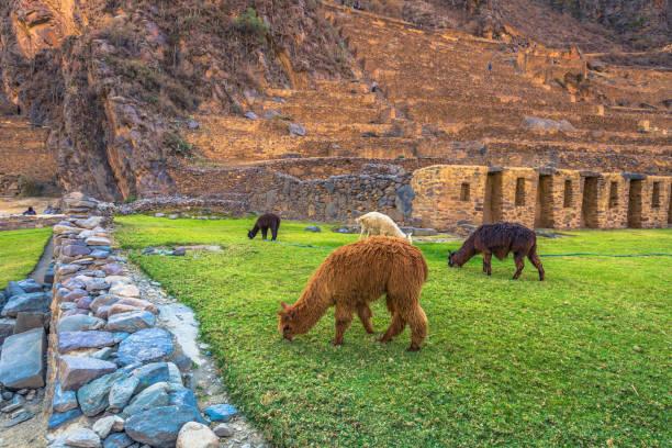 Heiliges Tal, Peru - 2. August 2017: Lamas an der antiken Stätte von Ollantaytambo im Heiligen Tal, Peru – Foto