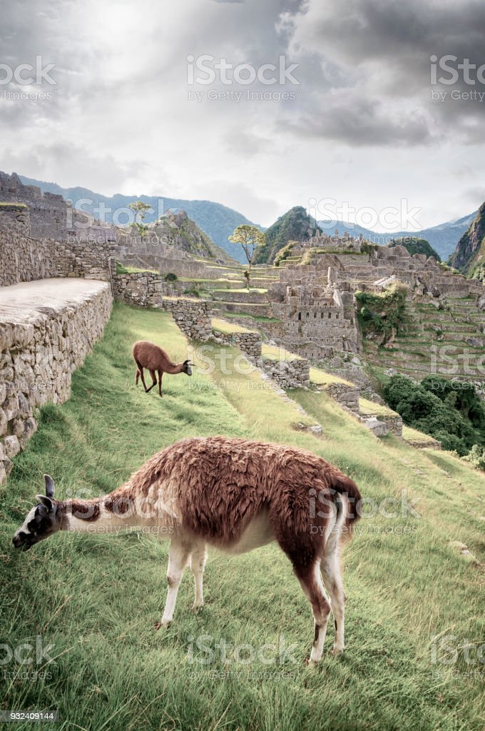 Llamas Graze On The Terraces In Machu Picchu, Peru stock photo