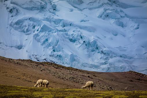 Alpacas in Peruvian Andes.