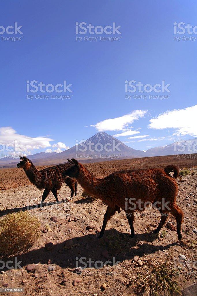 llamas in Altiplano - Atacama, Chile stock photo