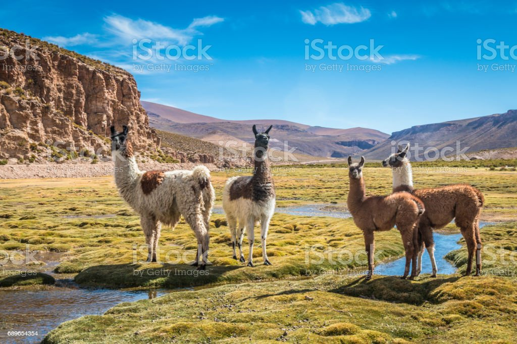 Llamas in Bolivia Bolivia Alpaca Stock Photo