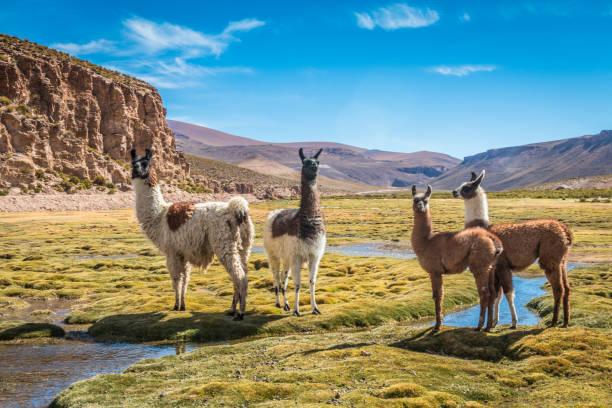 lamas in bolivien - lama kamelartige stock-fotos und bilder
