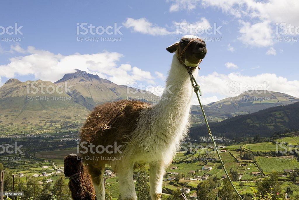 Llamas in Ecuador royalty-free stock photo