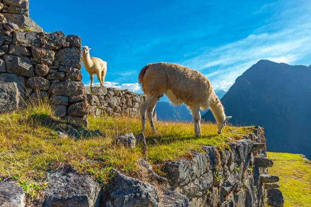 Llamas in Machu Picchu, Cusco stock photo