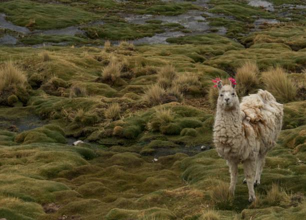Llamas in the Atacama Desert in Bolivia South America stock photo