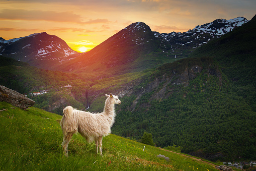 istock llamas in the mountains. 920398496