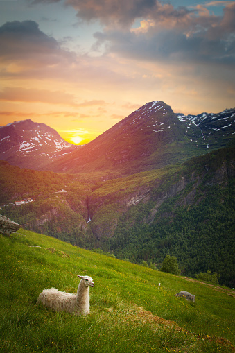 istock llamas in the mountains. 920398548