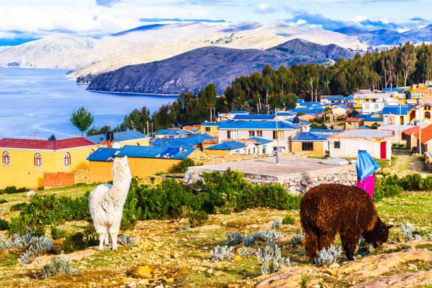 的的喀喀湖湖-玻利維亞的美洲駝 - 玻利維亞 個照片及圖片檔
