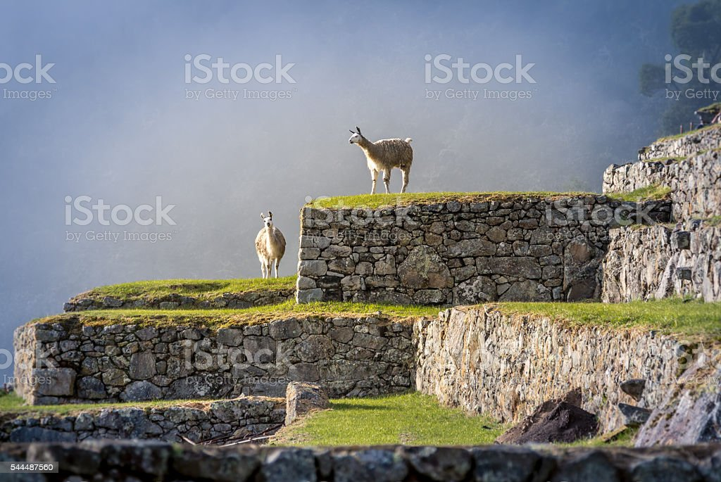 Llamas on Machu Picchu Terraces - Peru stock photo