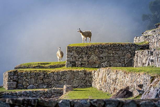 llamas on machu picchu terraces - peru - peru bildbanksfoton och bilder