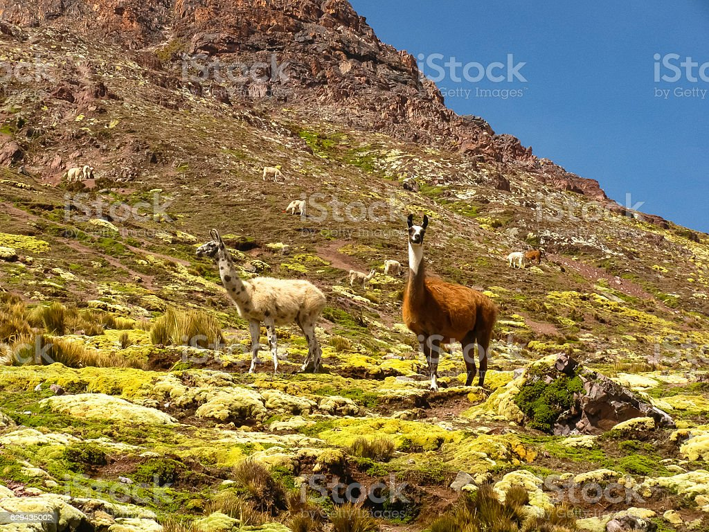 Llamas on the Ausangate Trek, Peru. stock photo
