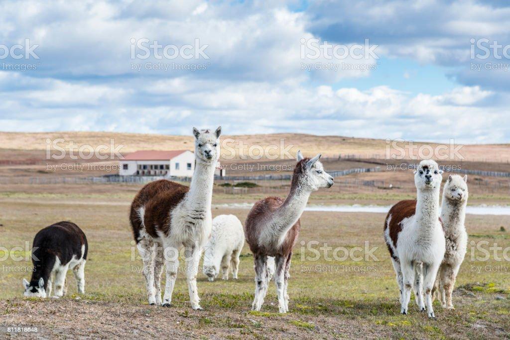 Llamas on the farm. Patagonia stock photo
