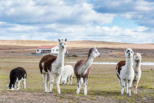 llamas en la granja. patagonia - alpaca fotografías e imágenes de stock