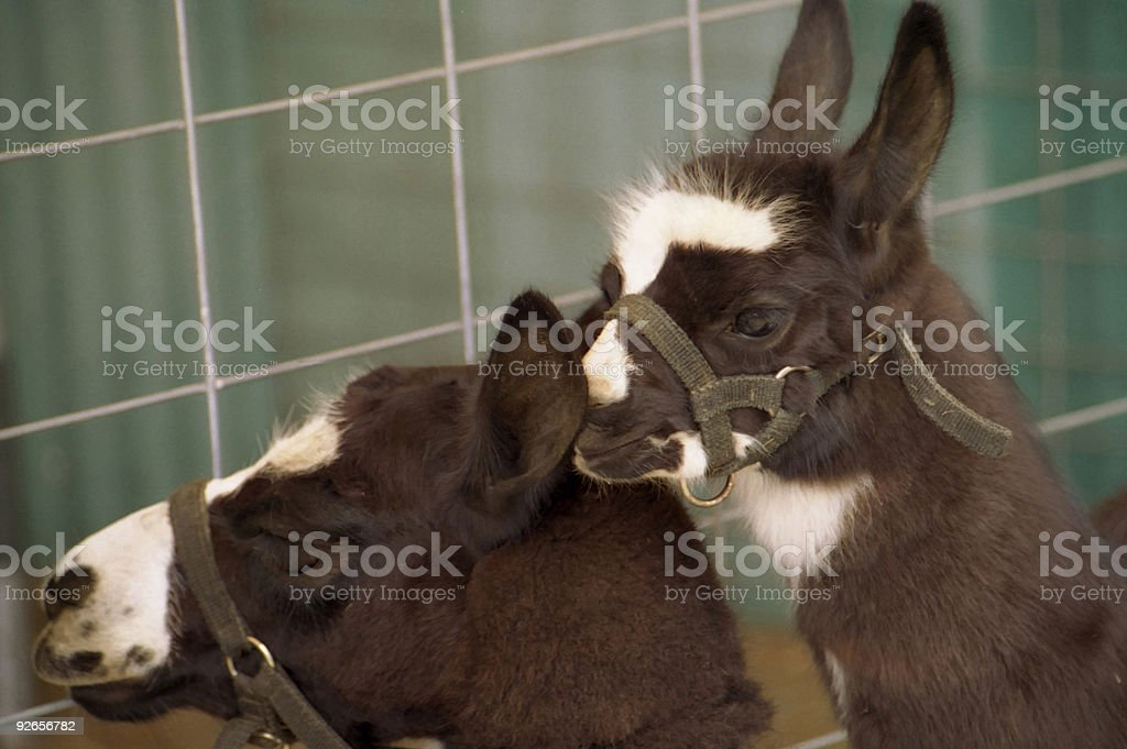 Llamas royalty-free stock photo