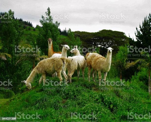 Llamas pose on a small hill