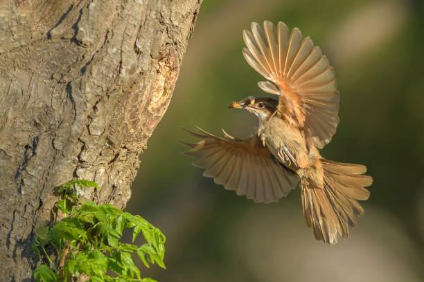 LLegando al nido con comida stock photo