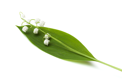 Sprig lily of the valley on a white background