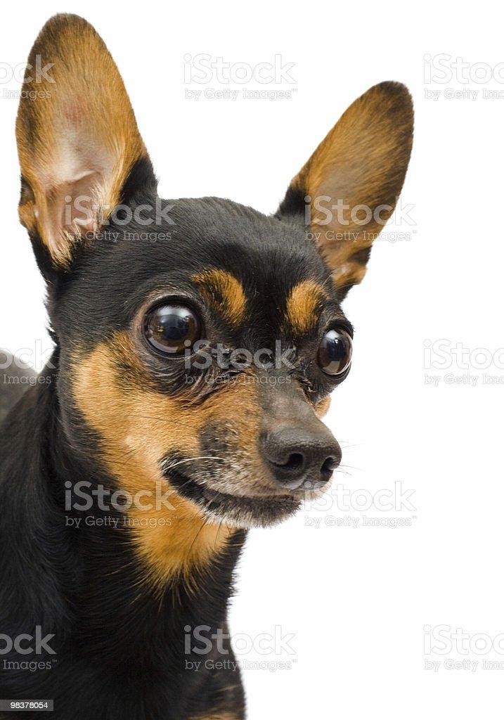 llitle funny dog royalty-free stock photo