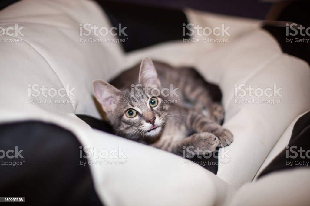 llittle kitty resting on a black and white beanbag puff chair stock photo