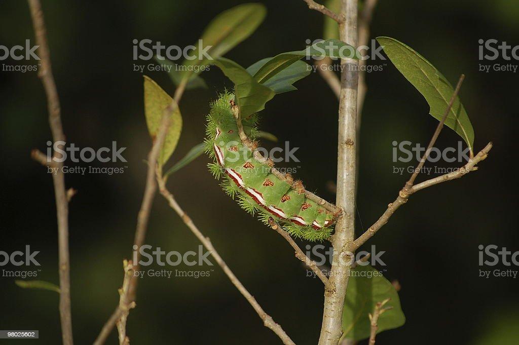 Lo moth caterpillar royalty-free stock photo