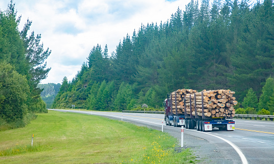 Load of harvested pine logs carried on the trucks to timber mills. New Zealand forestry industry. Taken in  in Waikato New Zealand on December 9, 2019.