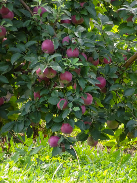 Loaded Apple Tree in Marion New York stock photo