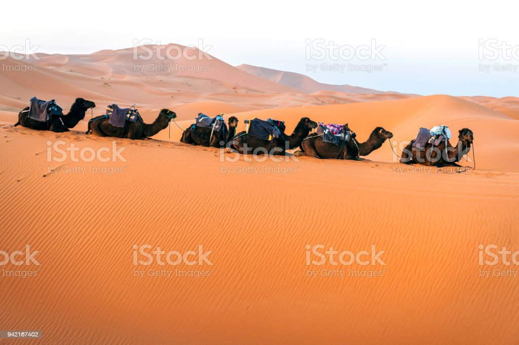 Loaded camels lie in the desert sand, Erg Chebbi, Morocco,North Africa stock photo