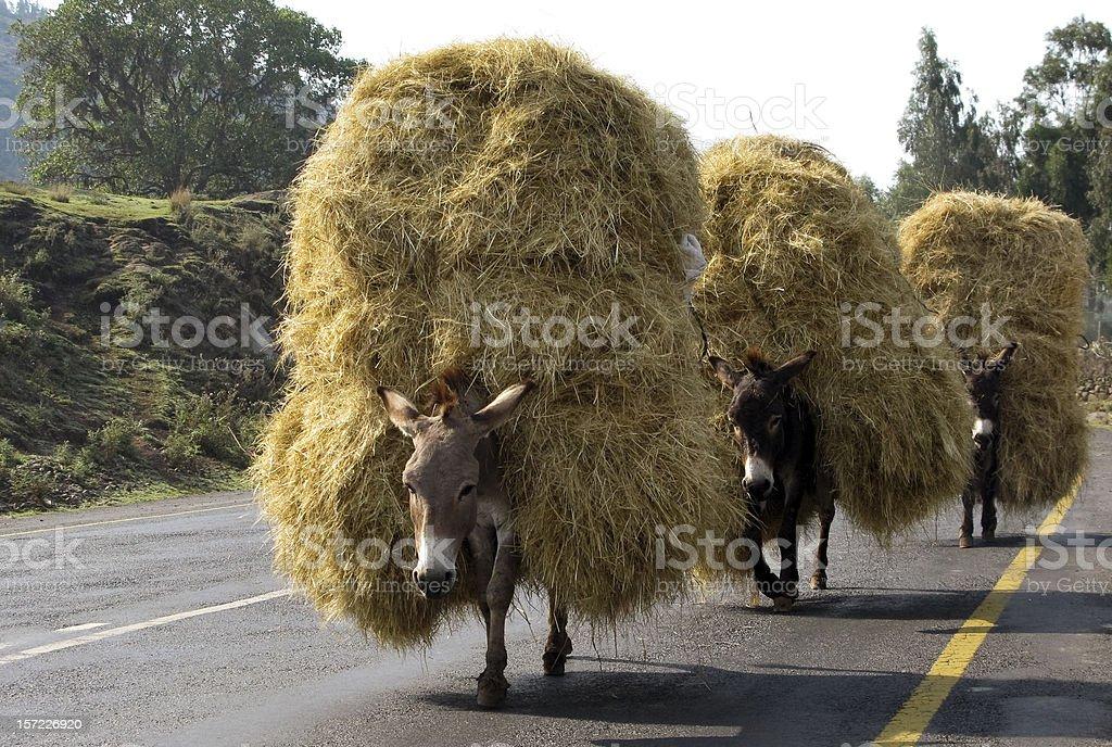 Loaded Donkeys With Hay stock photo