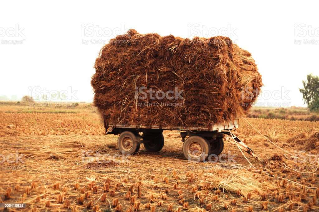 Loaded rice crop straws stock photo