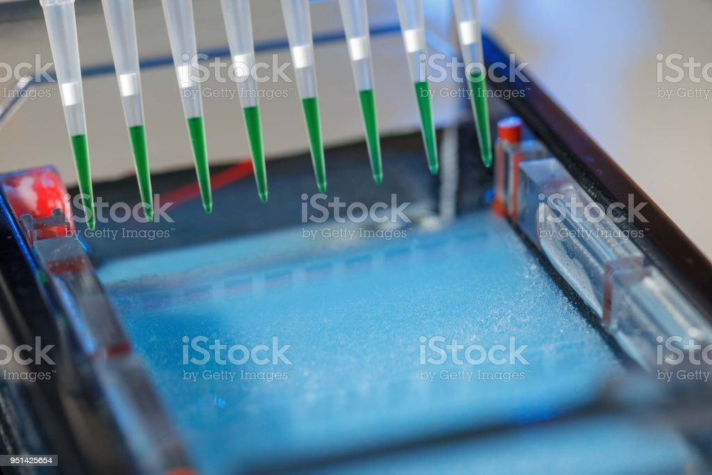 loading amplified DNA samples to agarose gel with multichannel pipette stock photo