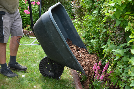 loading torture wood chips bark on a wheelbarrow  with a shovel from a car and delivery to the garden where ornamental perennial beds are mulched by gardeners