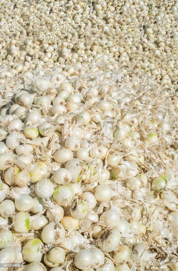 Loads of white onions just harvested stock photo