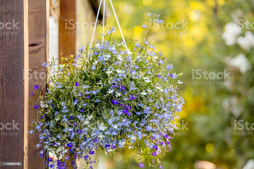 Lobelia erinus flower hanging on iron wall hanging flower plant pot...