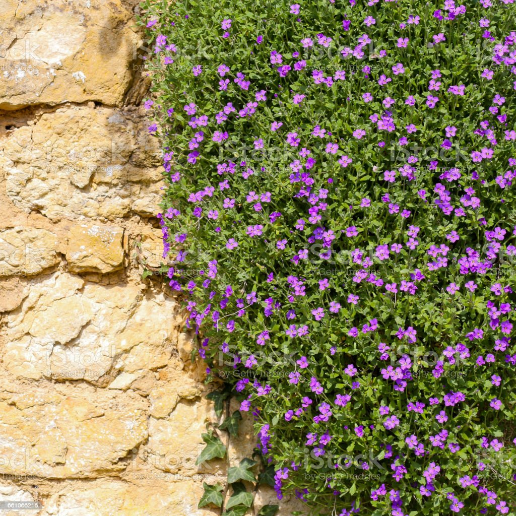 Lobelia Erinus Small Purple Magenta Flowers Stock Photo More