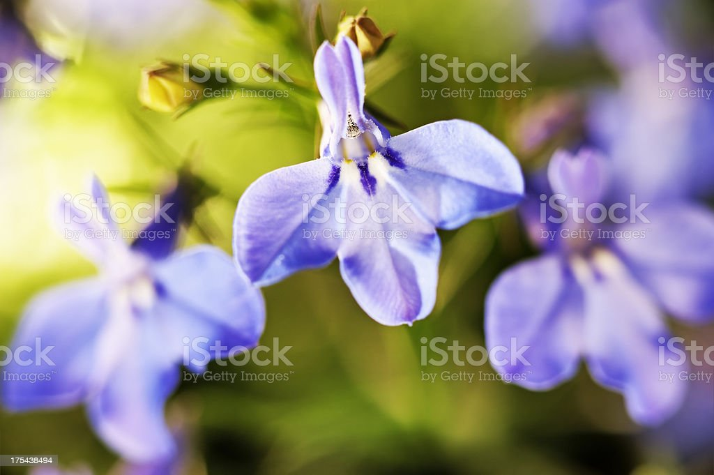 Lobelia (erinus) stock photo