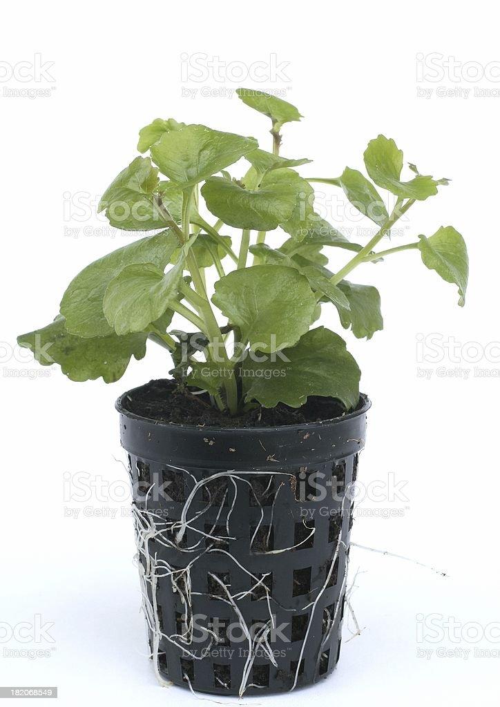 Lobelia richardii stock photo