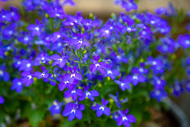 Lobelia Sapphire Blue Trailing Lobelia Sapphire flowers perennial stock pictures, royalty-free photos & images