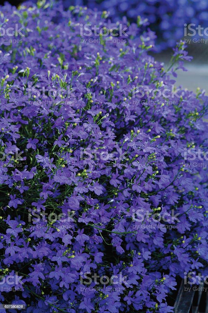 Lobelia Star Deep Blue Stock Photo More Pictures Of Autumn Istock