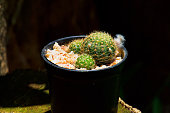 Lobivia sp., cactus on pot, cacti, cactaceae, succulent, tree. Drought tolerant plant.