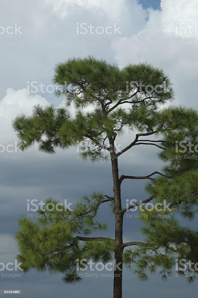 Loblolly Tree and Sky royalty-free stock photo