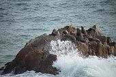 grupo de lobos marinos descansando sobre una roca en la romiente de las olas, viña del mar, chile