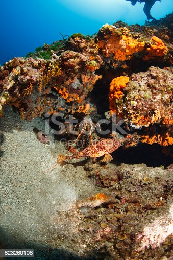 istock Lobster and red scorpionfish  (Scorpaena scrofa) Sea life Underwater seastar Scuba diver point of view 823260108