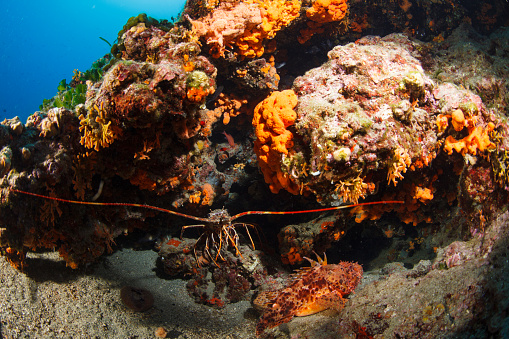 istock Lobster and red scorpionfish  (Scorpaena scrofa) Sea life Underwater seastar Scuba diver point of view 823262530
