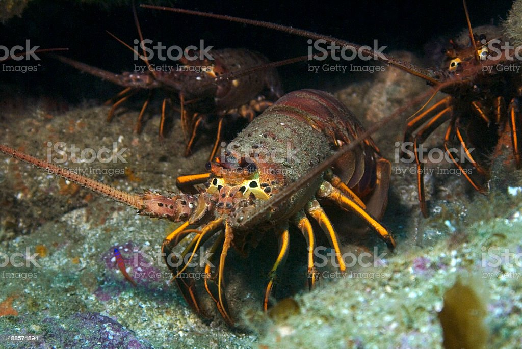 Lobster at Catalina Island stock photo