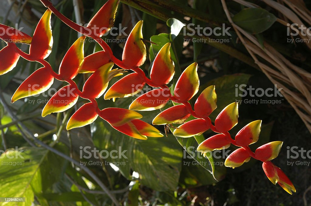 Lobster Claw flower stock photo