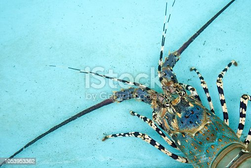 lobster cultivation simeulue