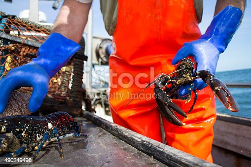 A low angle shot of an unrecognisable fisherman holding a lobster. He is wearing blue gloves and orange overalls to protect his clothing.