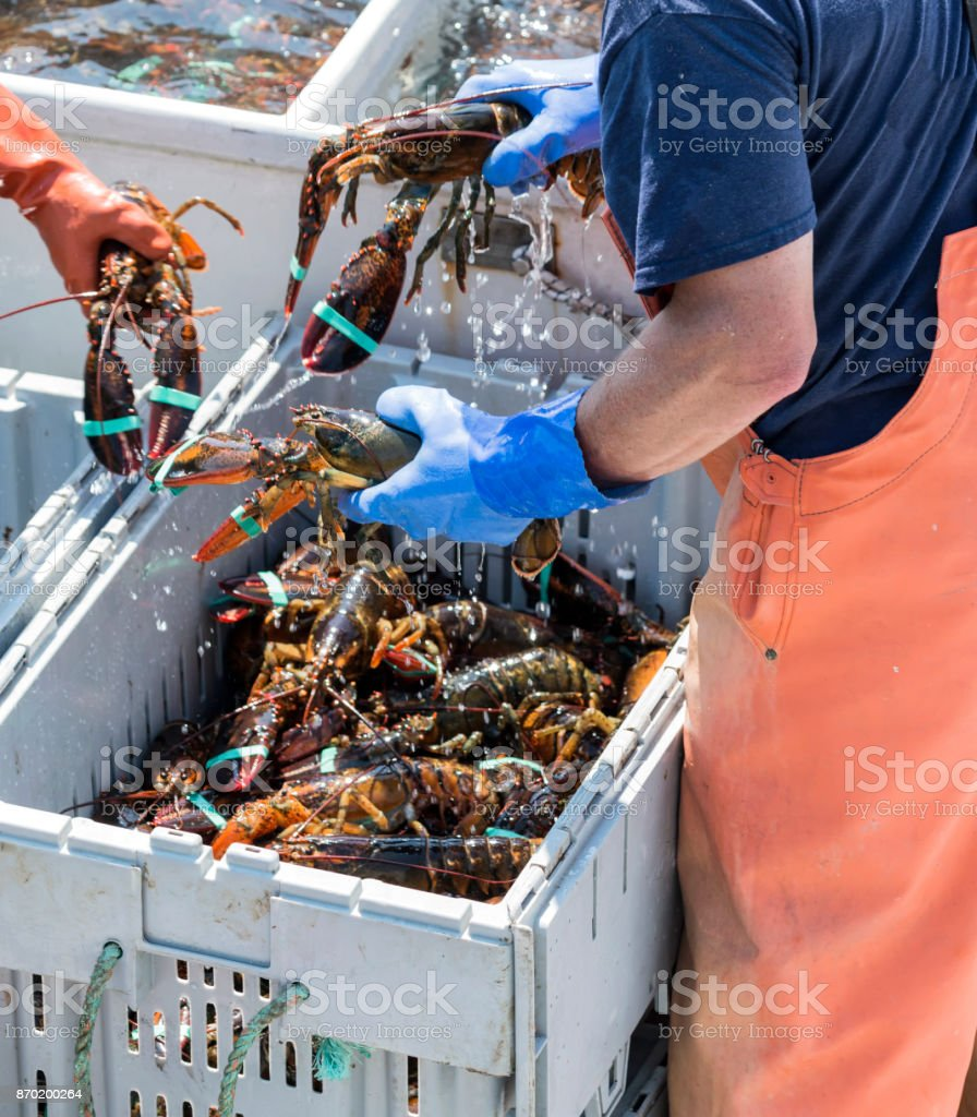 Lobster fisherman sorting lobster to be sold at the peir stock photo